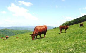 放牧地の短角牛